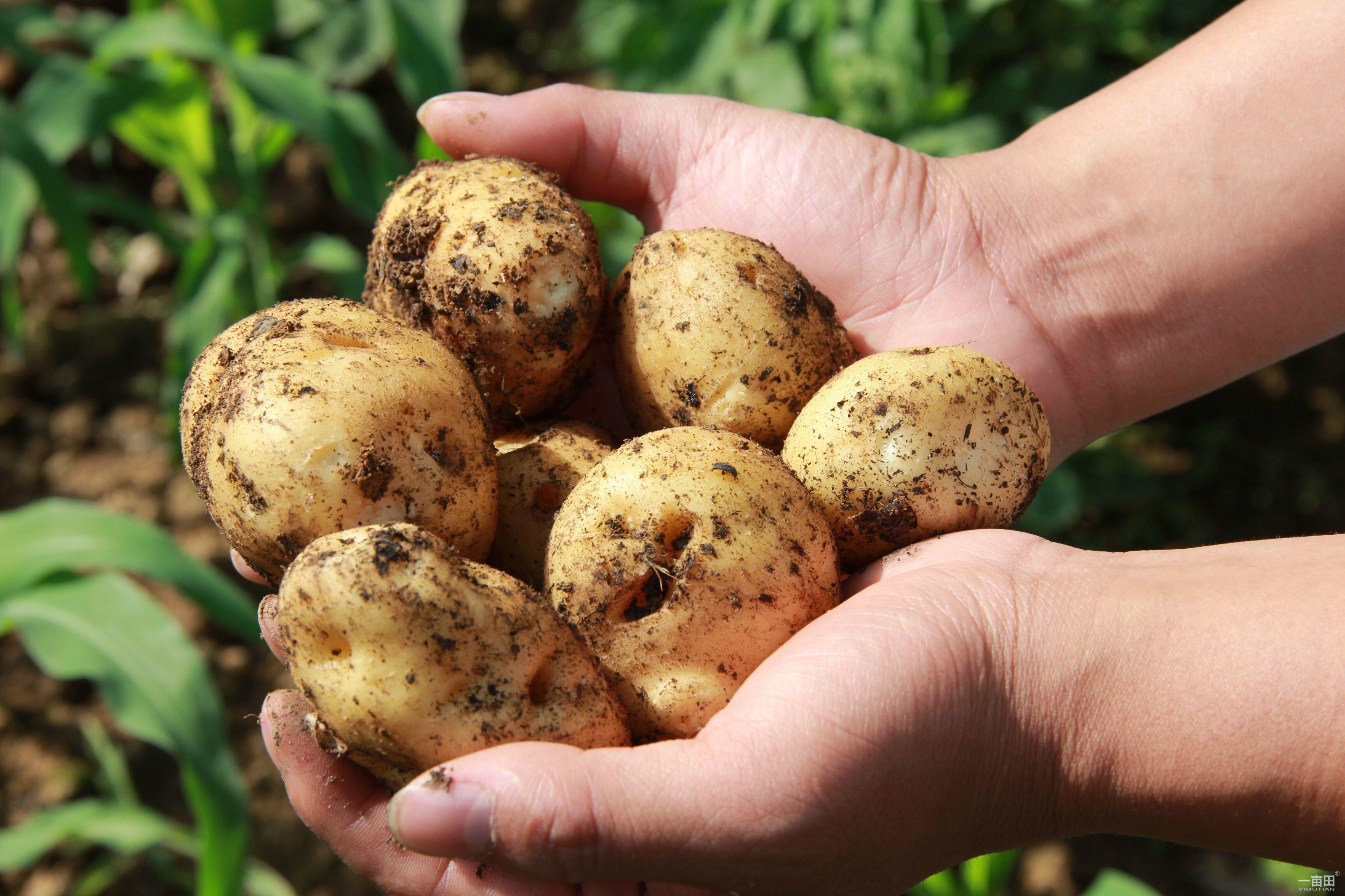 土豆不仅可以闷饭吃,还可以花样地做菜,什么干土豆片,干煸土豆